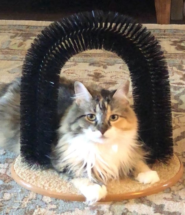 Cat sitting in grooming massage toy