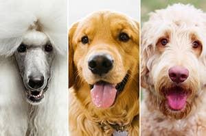 """一只贵宾犬,金毛猎犬和goldendoodle""""class="""