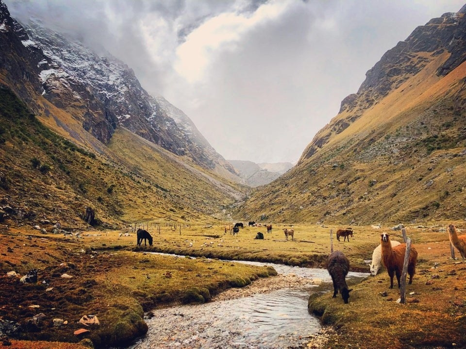 Llamas on the Salkantay Trek in Peru