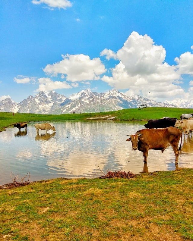 Wild animals grazing in Svaneti, Georgia