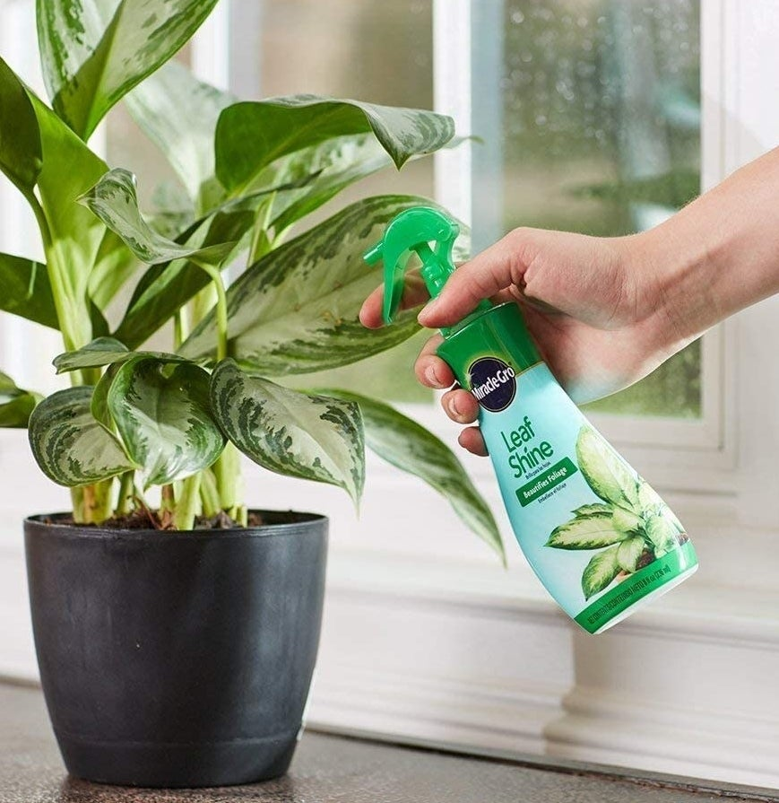 A person spraying leaves with the mixture