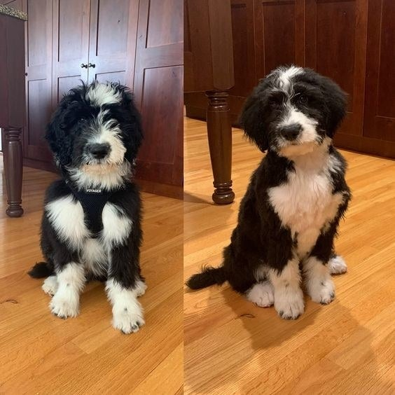 Reviewer's before and after of dog being groomed at home