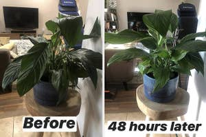 a before and after for a plant feeding spike