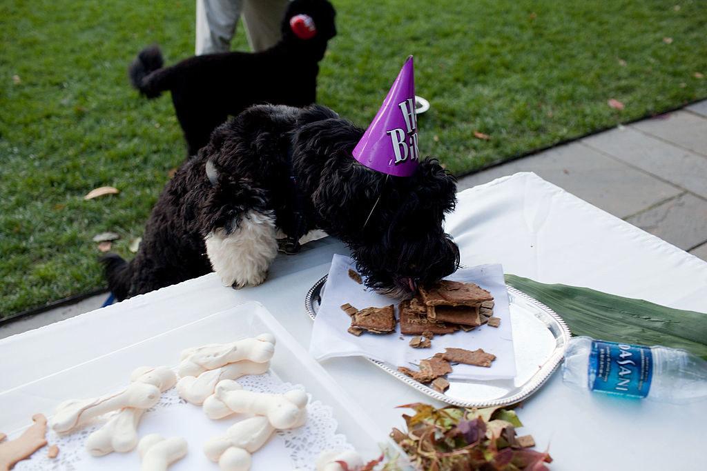 Bo eating treats at his birthday party