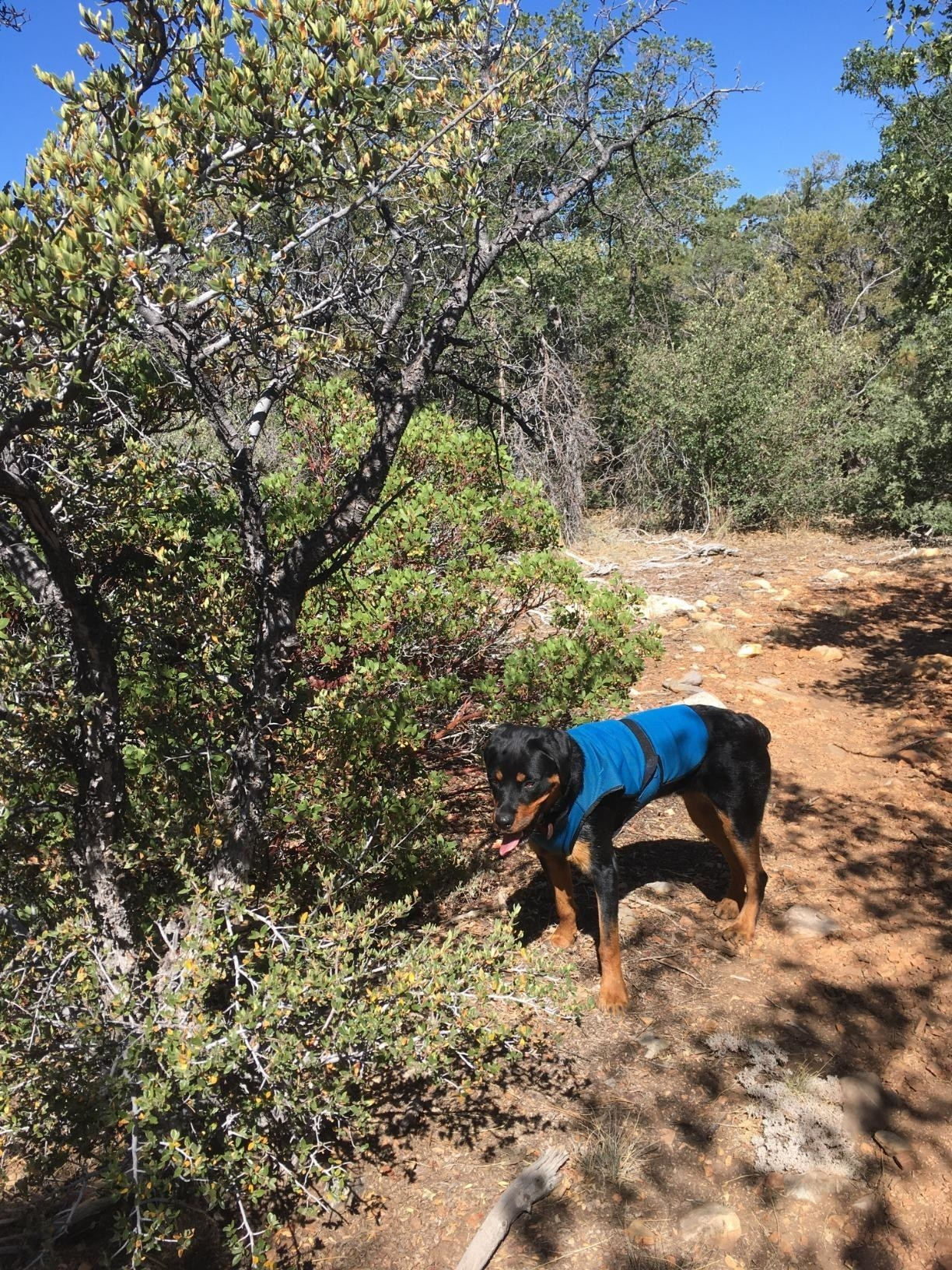 reviewer image of a dog wearing the blue cooling vest in a large while on a hike