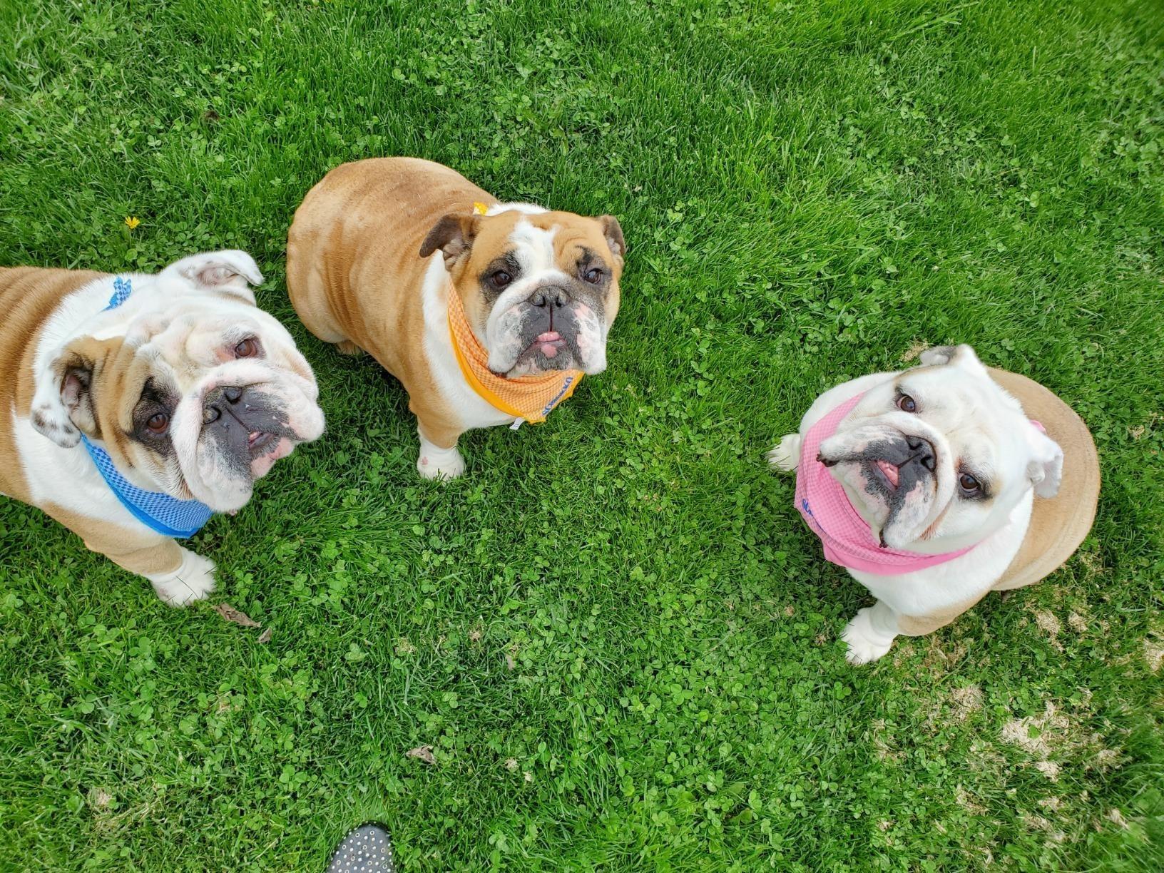 reviewer image of three pugs wearing cooling bandanas