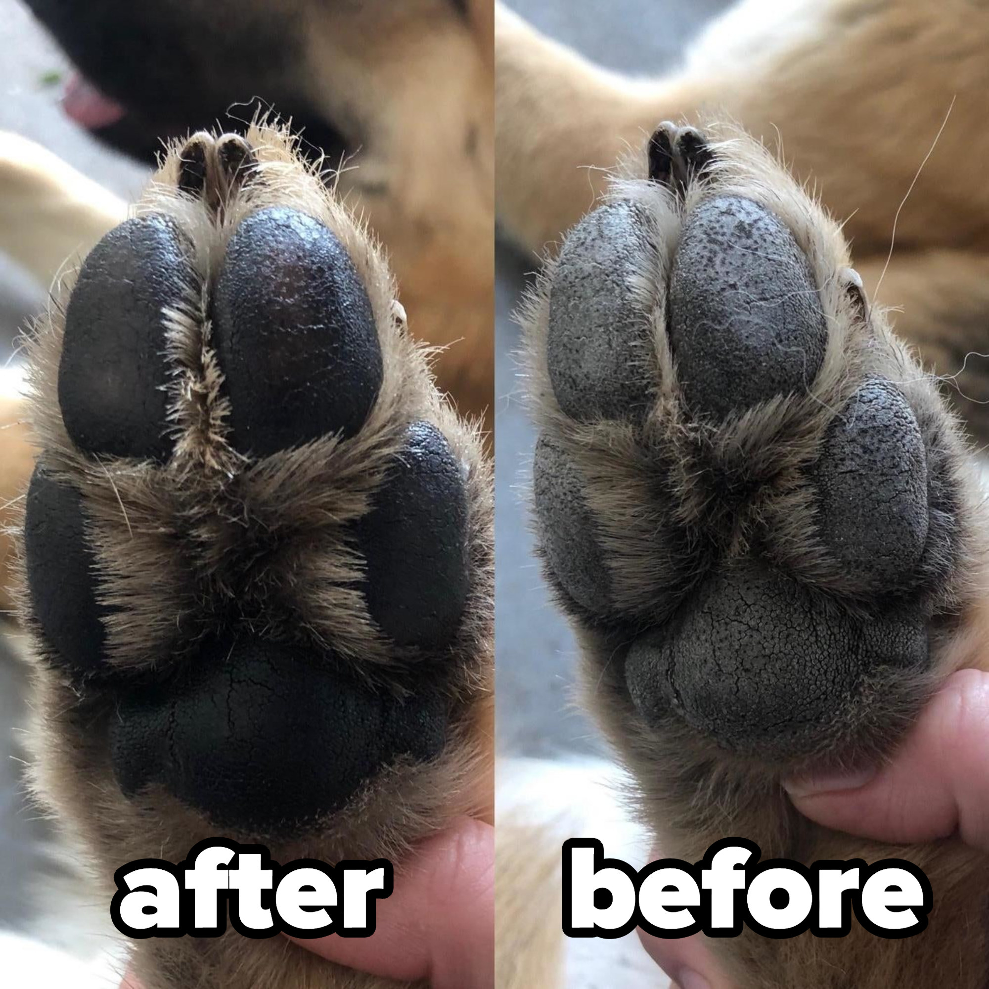 after image of a paw with musher's paw wax on and a before image of the same paw, but cracked and dry