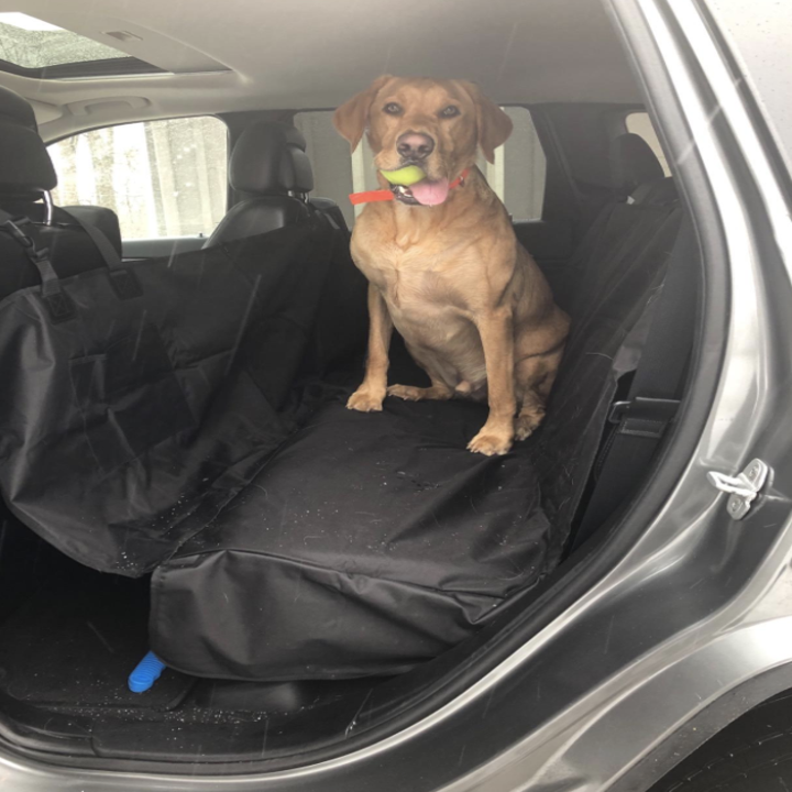 yellow lab sitting in the backseat of a car on the car cover