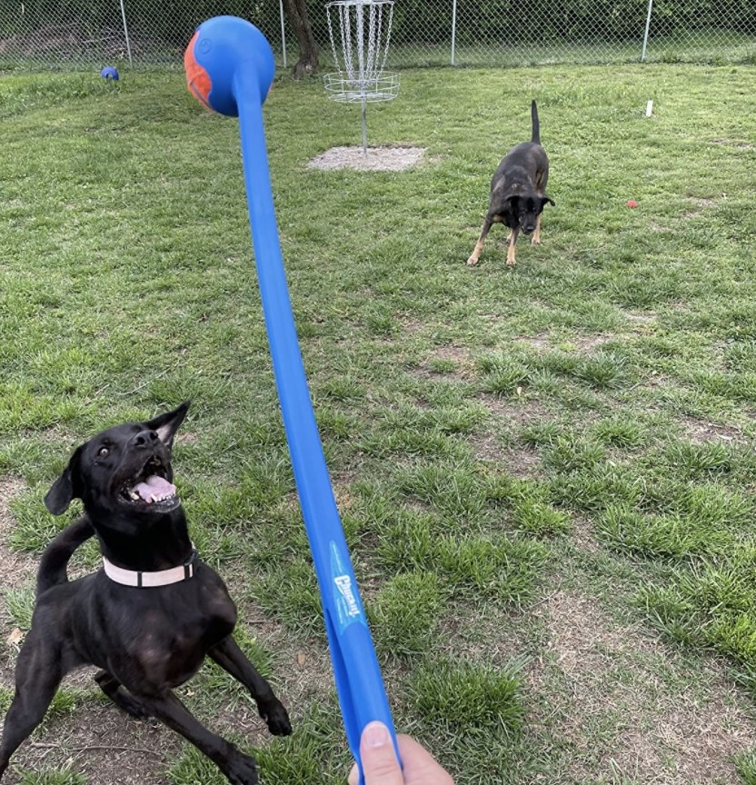 A dog jumping for a ball on a ball launcher