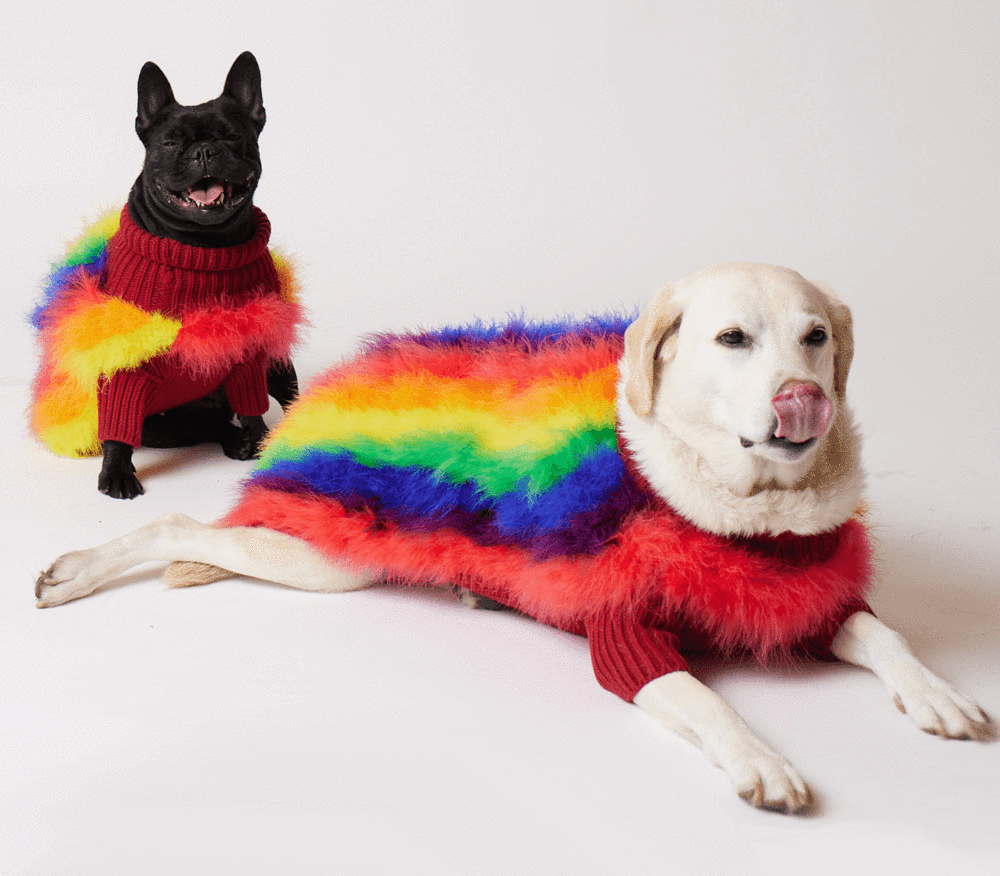 black French bulldog and white golden retriever in fluffy, rainbow-colored jumpers