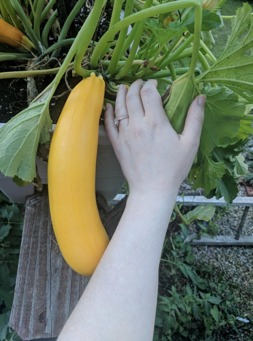 The plant theatre seed starter kit being used to grow a huge squash