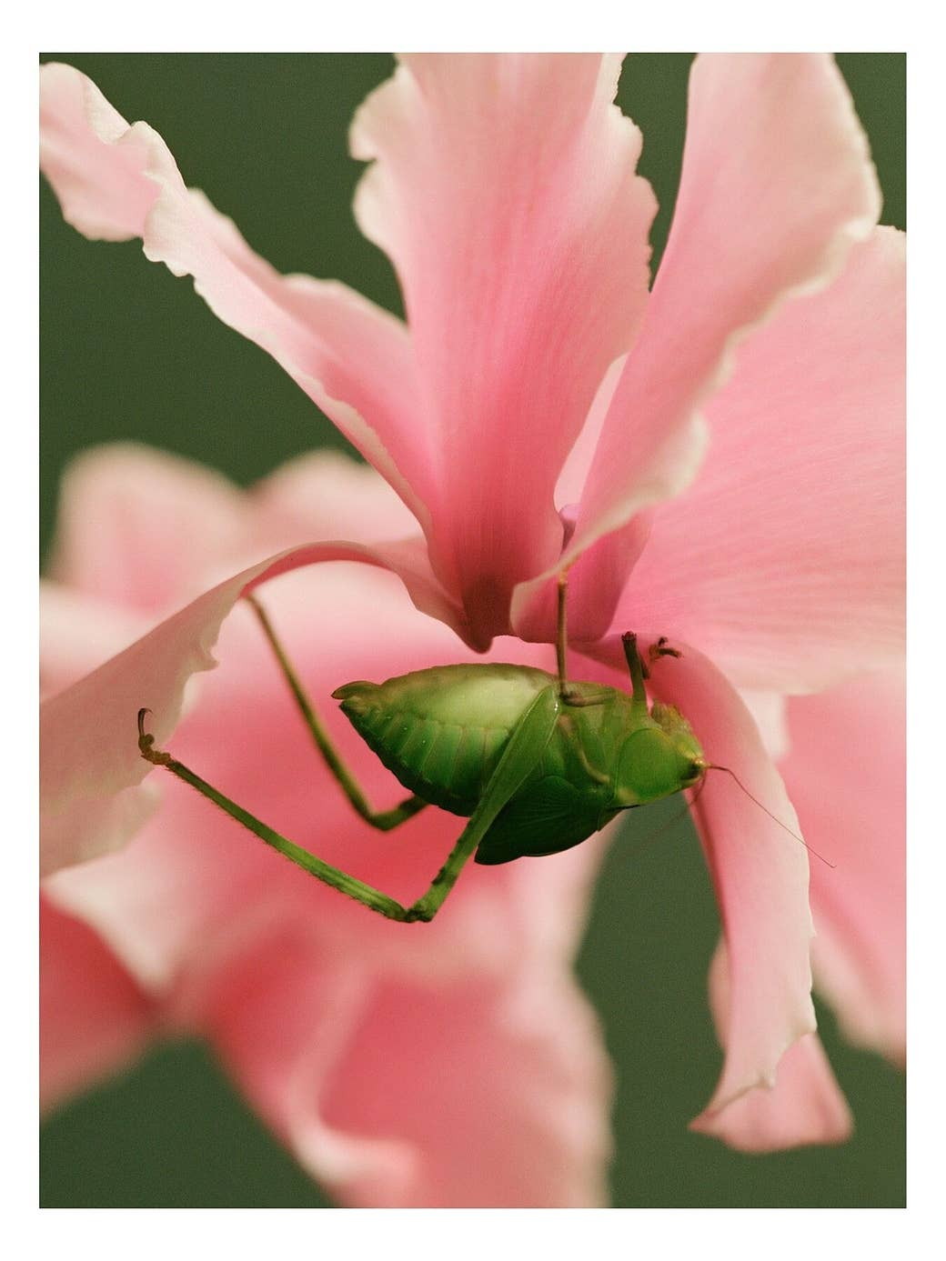 A grasshopper holding on to a flower upside down