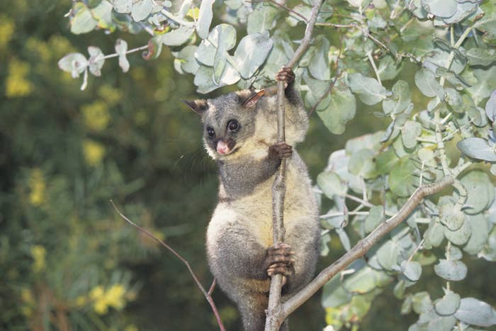 A possum clinging to a tree branch