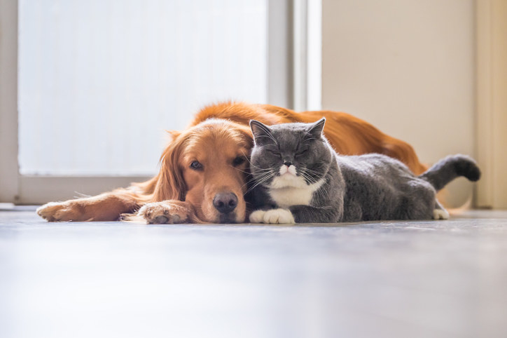 Large golden-haired dog and gray cat lying peacefully together
