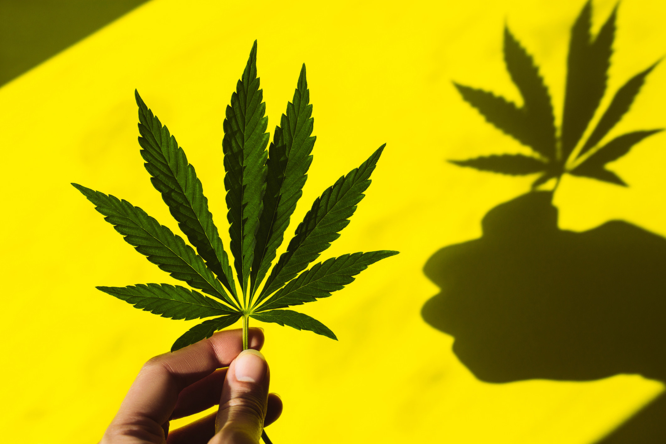 Someone holding up a big marijuana leaf, casting a shadow of hand and leaf behind it