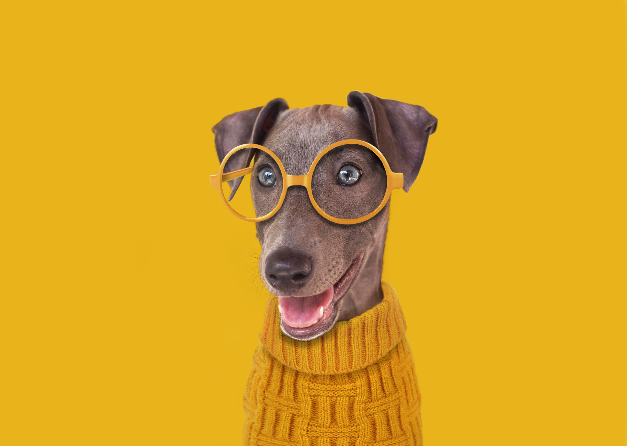 A dog with short fur, a thin face, and floppy ears wearing big, round glasses and a turtleneck sweater