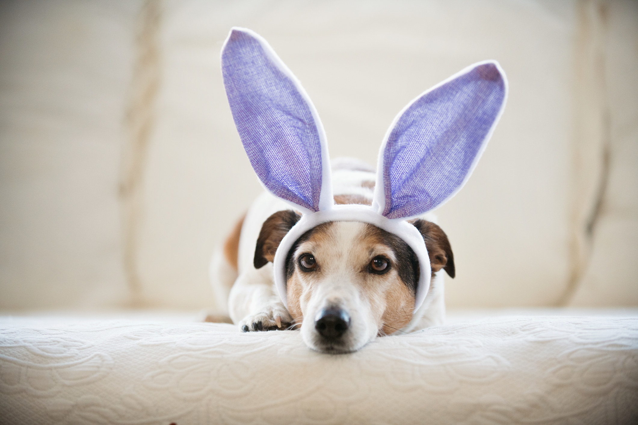 A small dog with dark ears lying on a couch wearing big bunny ears