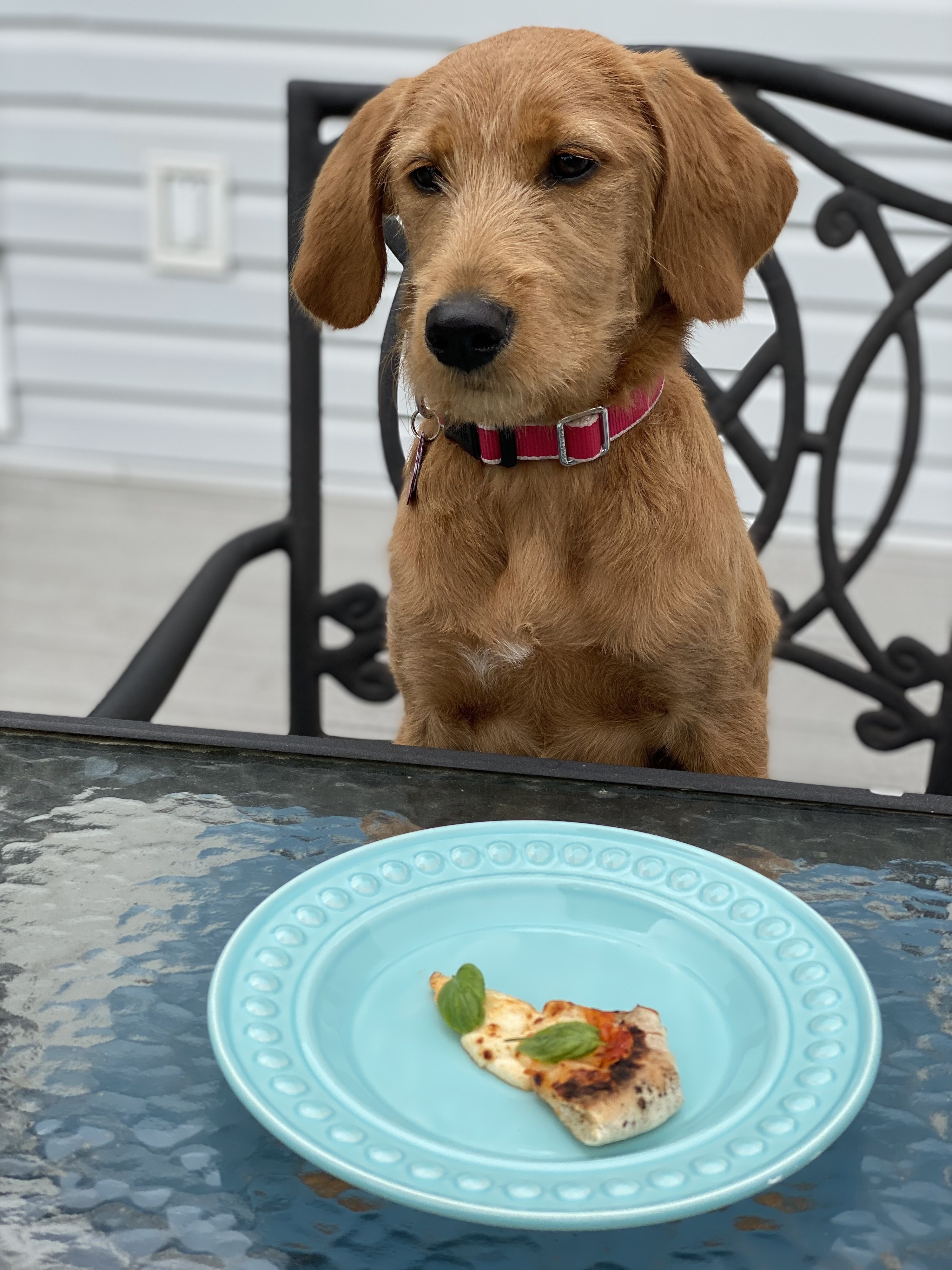 A puppy with a slice of pizza on a plate