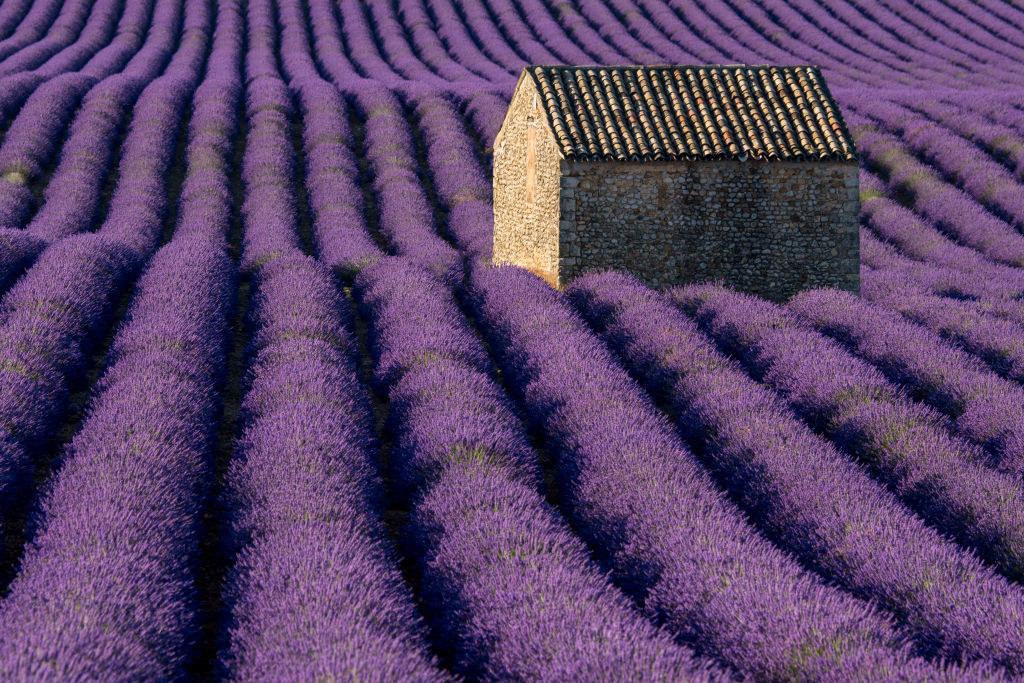 Rolling fields of lavender