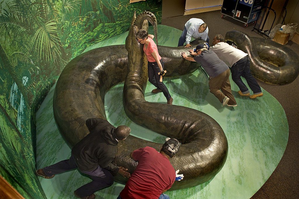 A Titanoboa replica in a muesum being arranged by a group of people