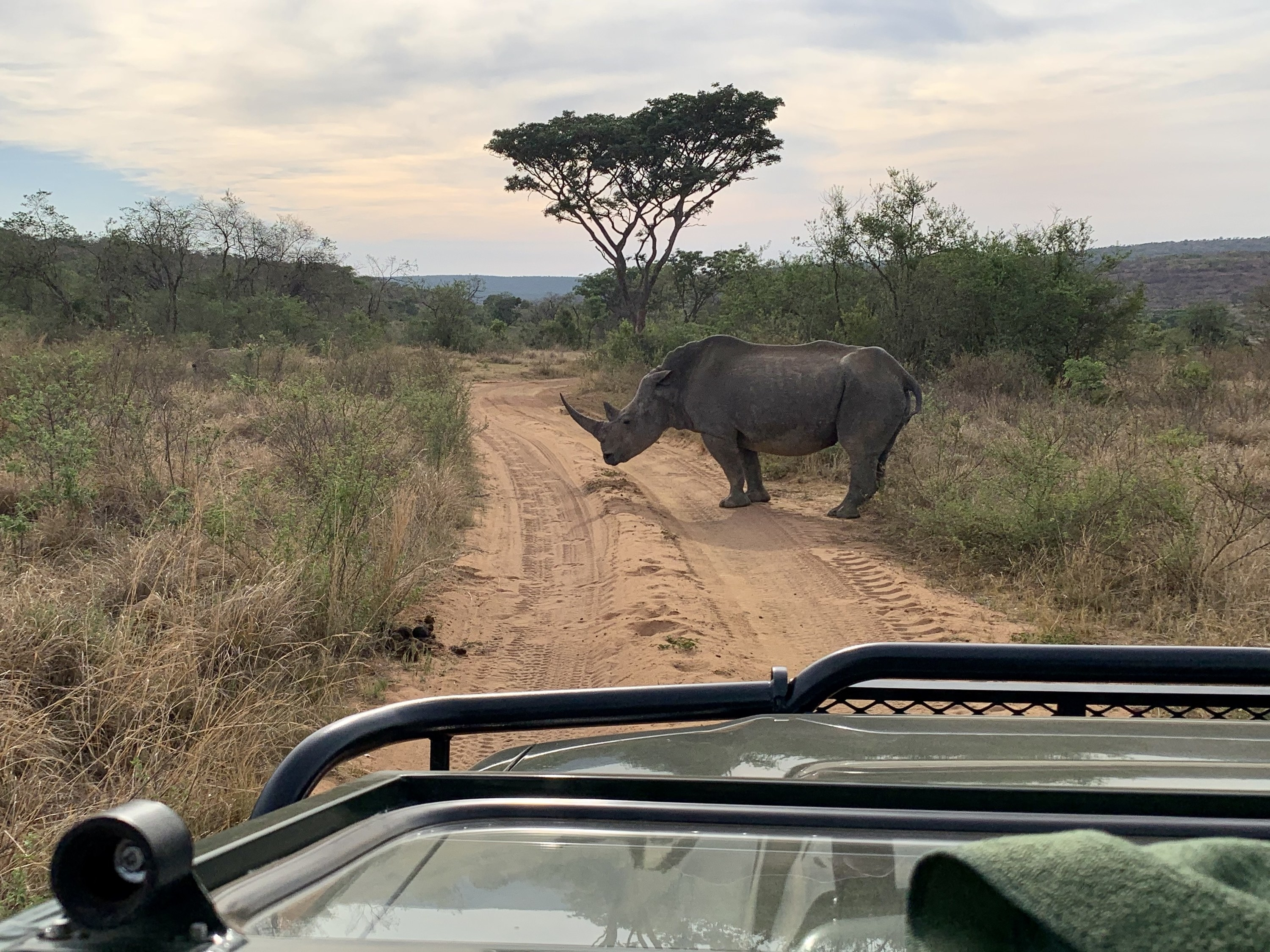 View from a safari car of a Rhino stalling the dusty trail ahead.