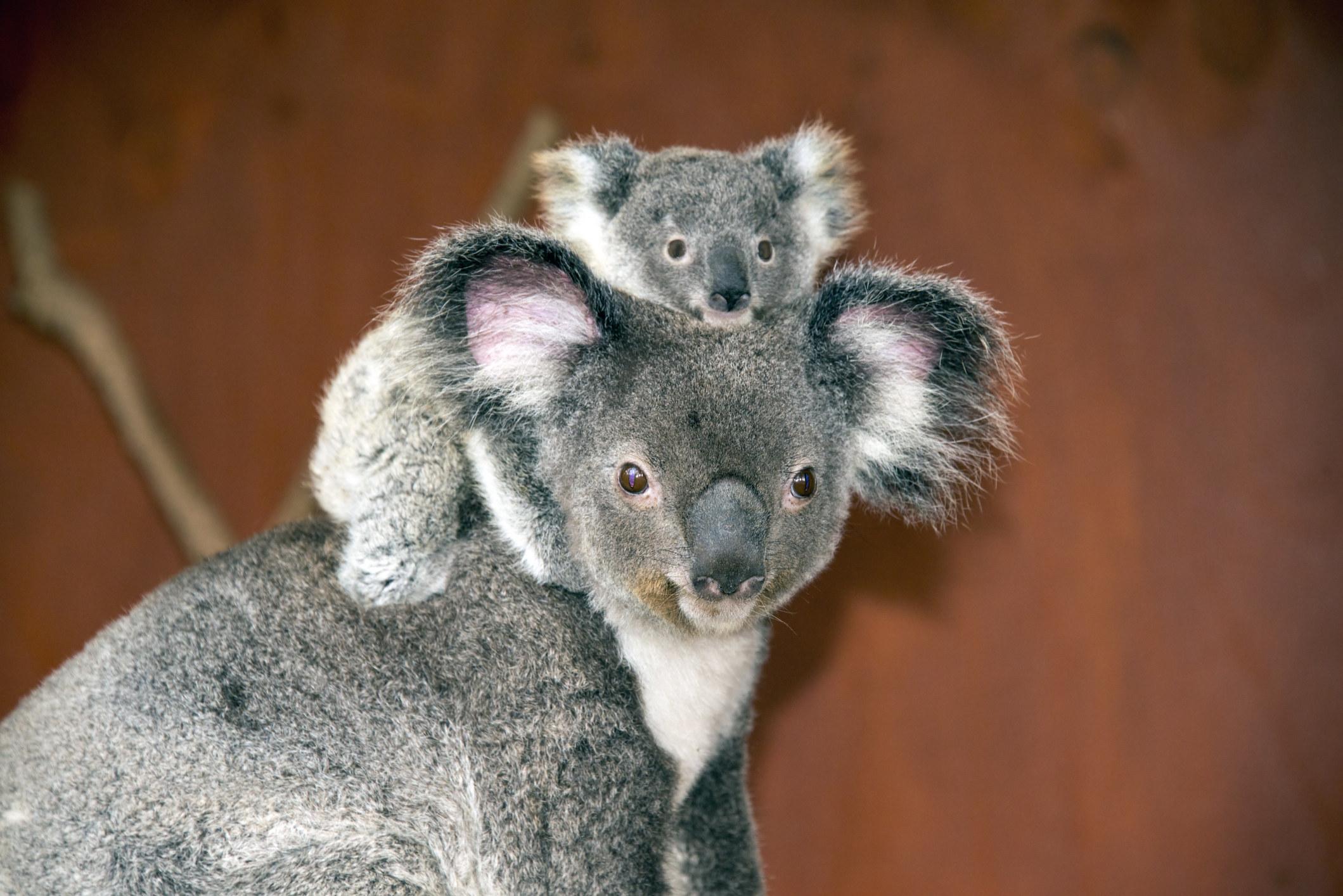 A baby and mama koala