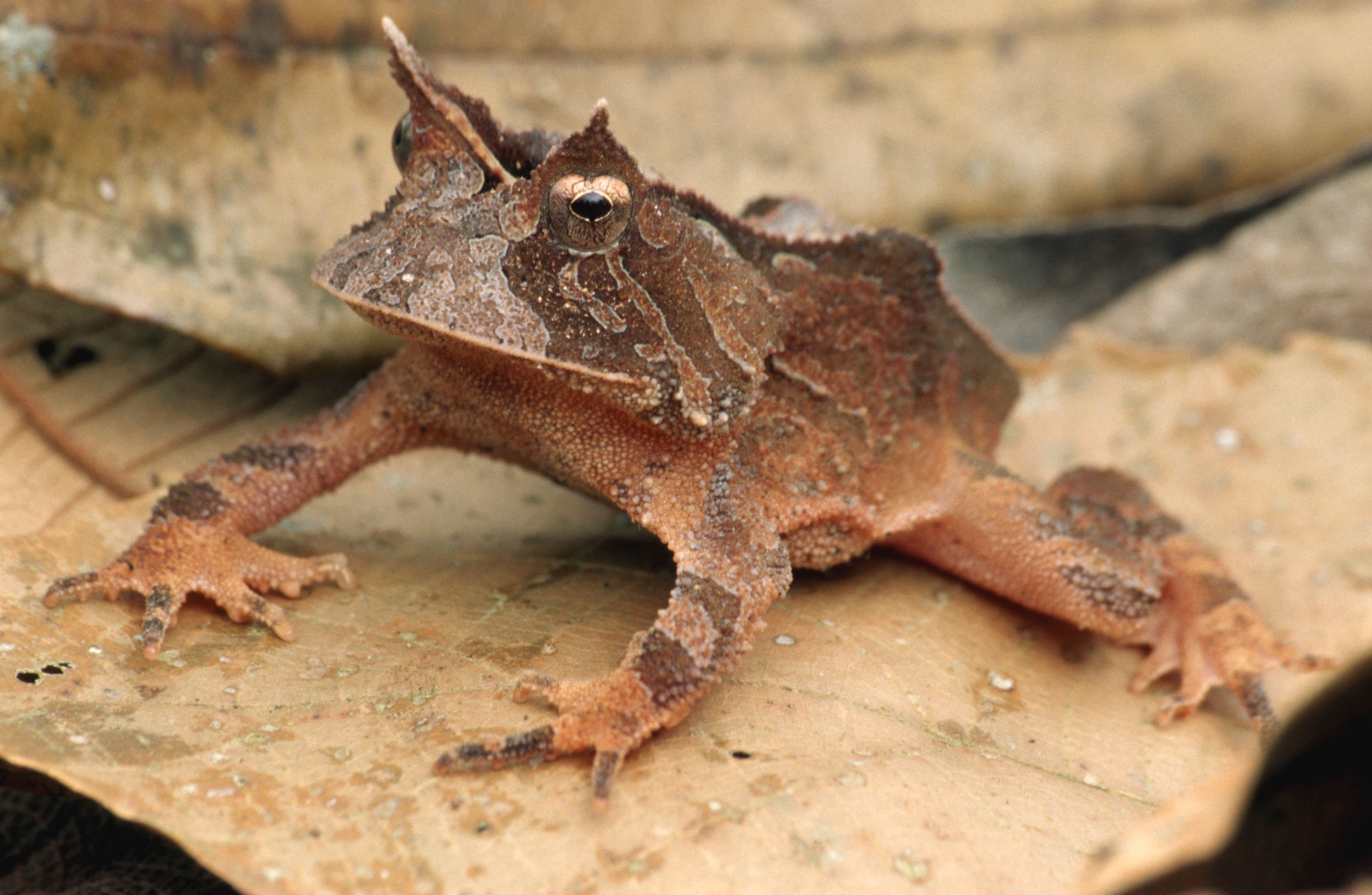 A frog with what looks like horns above each eye looking very leaf-like