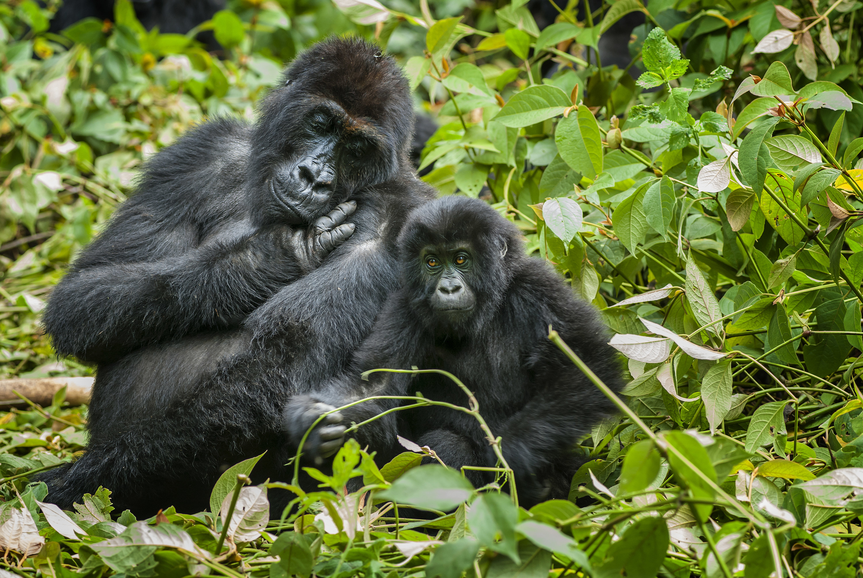 Two gorillas, one large and one small, sit on a leafy area of a forest.