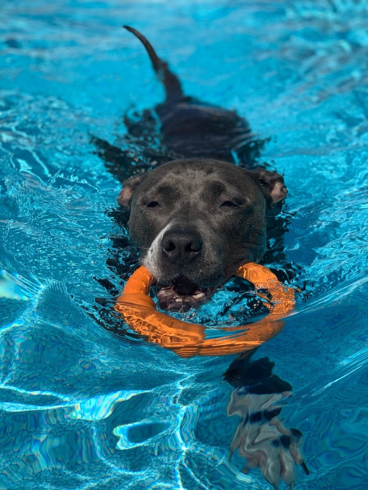 reviewer image of a dog swimming in a pool with the LaRoo ring in its mouth