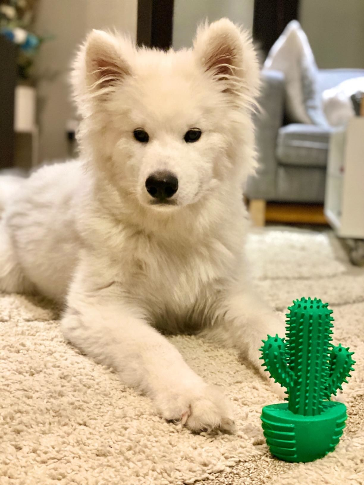 reviewer showing a white samoyed dog behind the cactus shaped dog toy