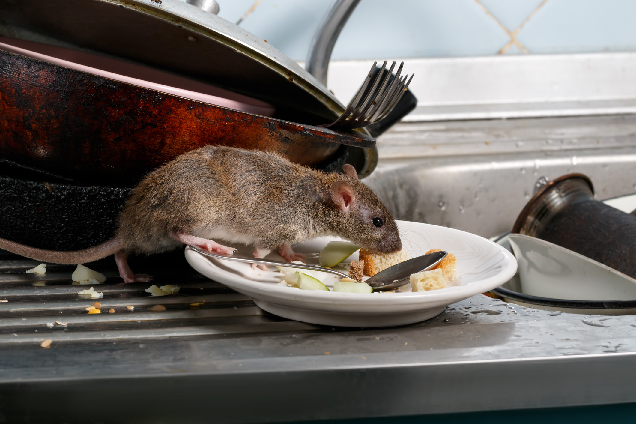 a rat in a kitchen