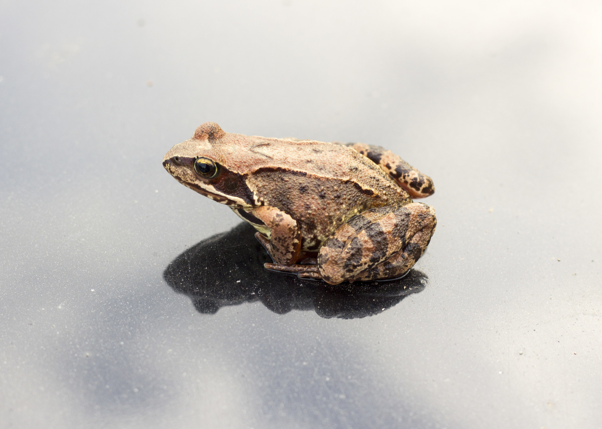 A Russian brown frog