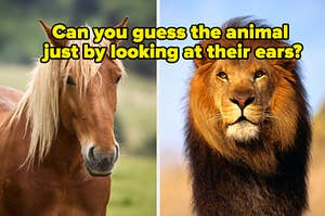 """A horse is on the left with a lion on the right labeled, """"Can you guess the animal just by looking at their ears?"""""""