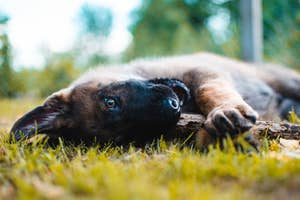 A Germa Shepherd puppy lays on its side with a stick in its mouth.