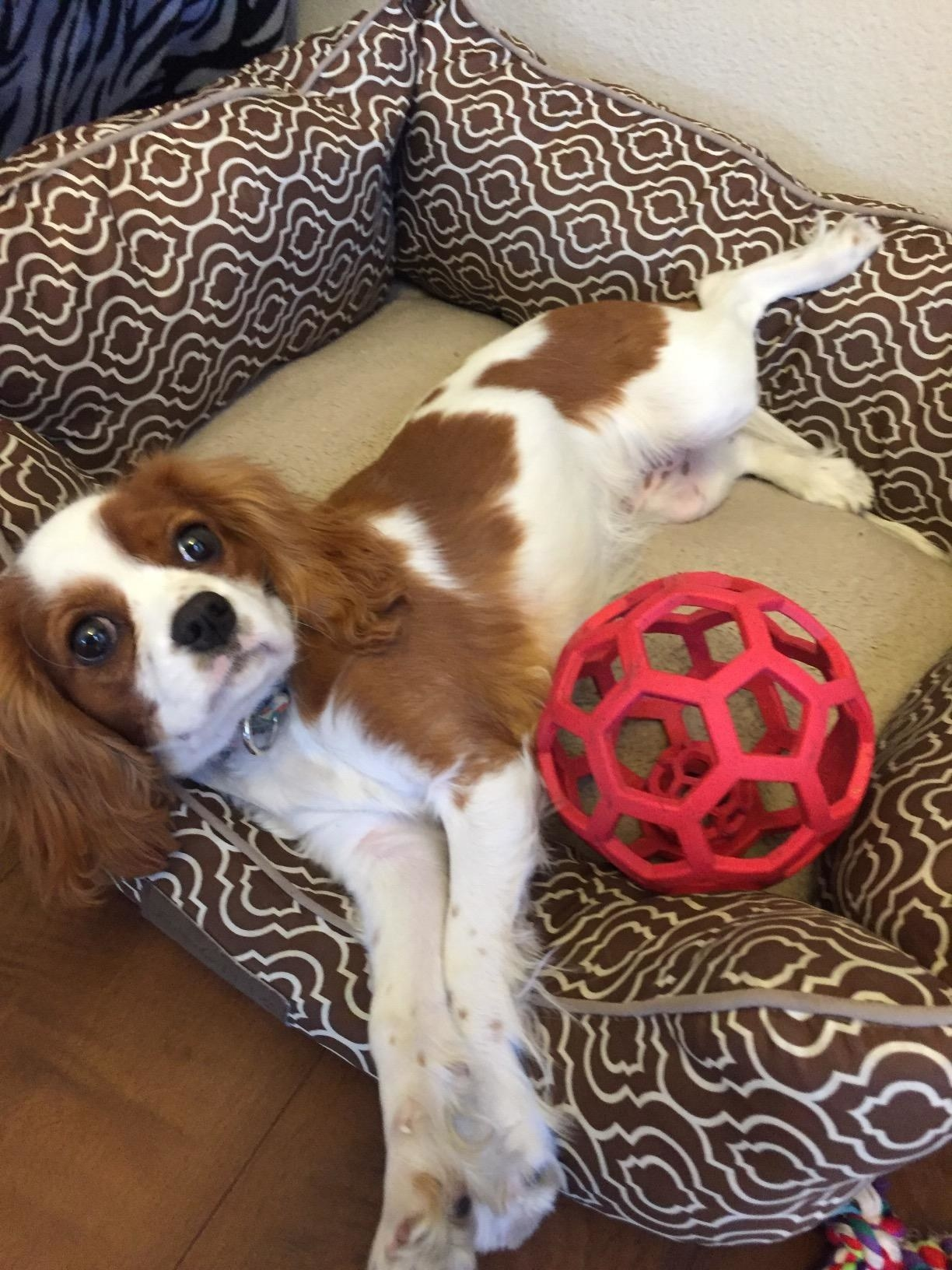 king charles with red hollow rubber ball