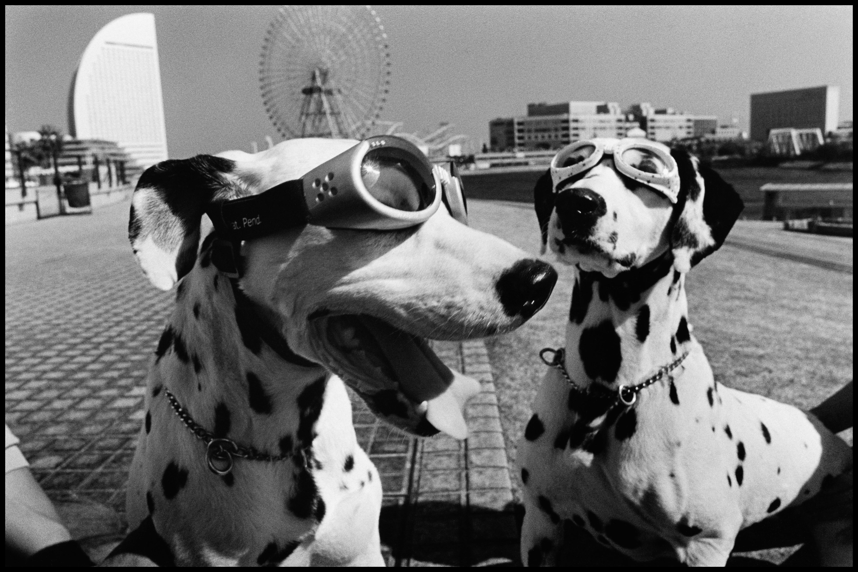 Two dalmations wearing googles