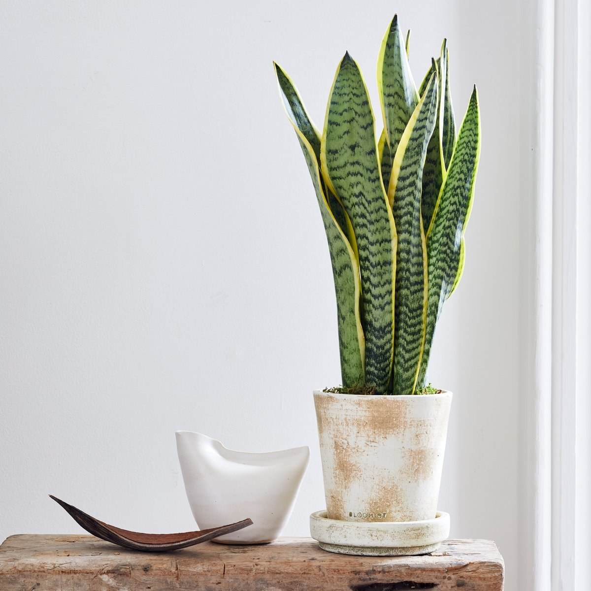 snake plant in a white and tan terra cotta pot