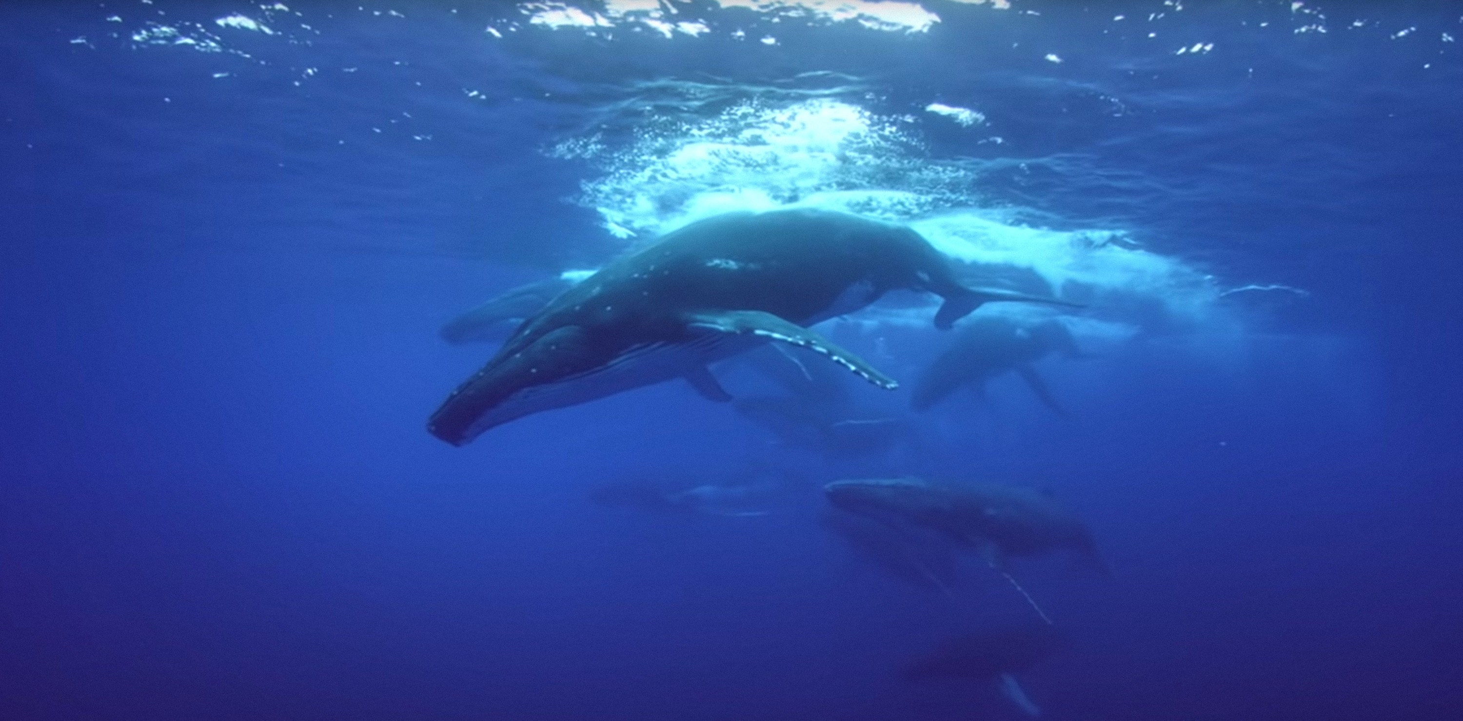 a humpback whale in the ocean