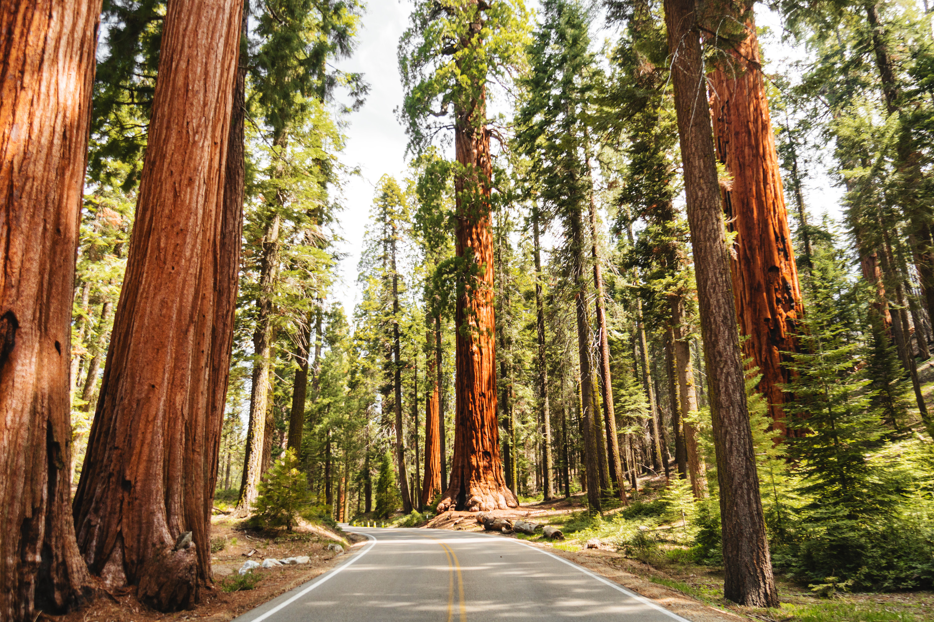 Giant sequoia trees lining a narrow road.