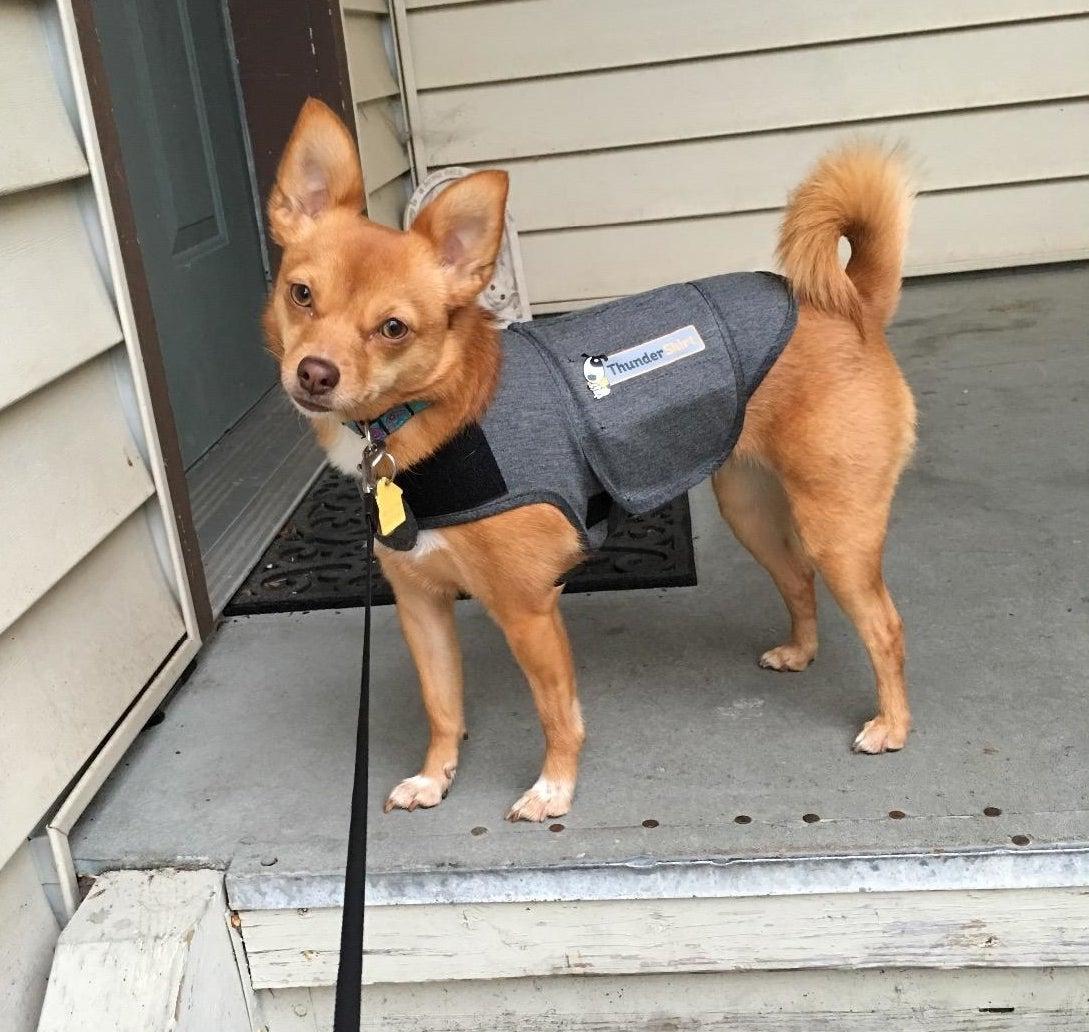 reviewer photo of a chihuahua wearing a gray thundershirt outside