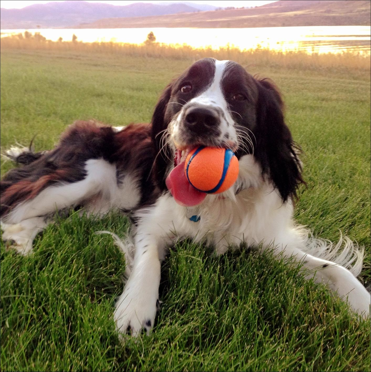 A dog chews on the ball