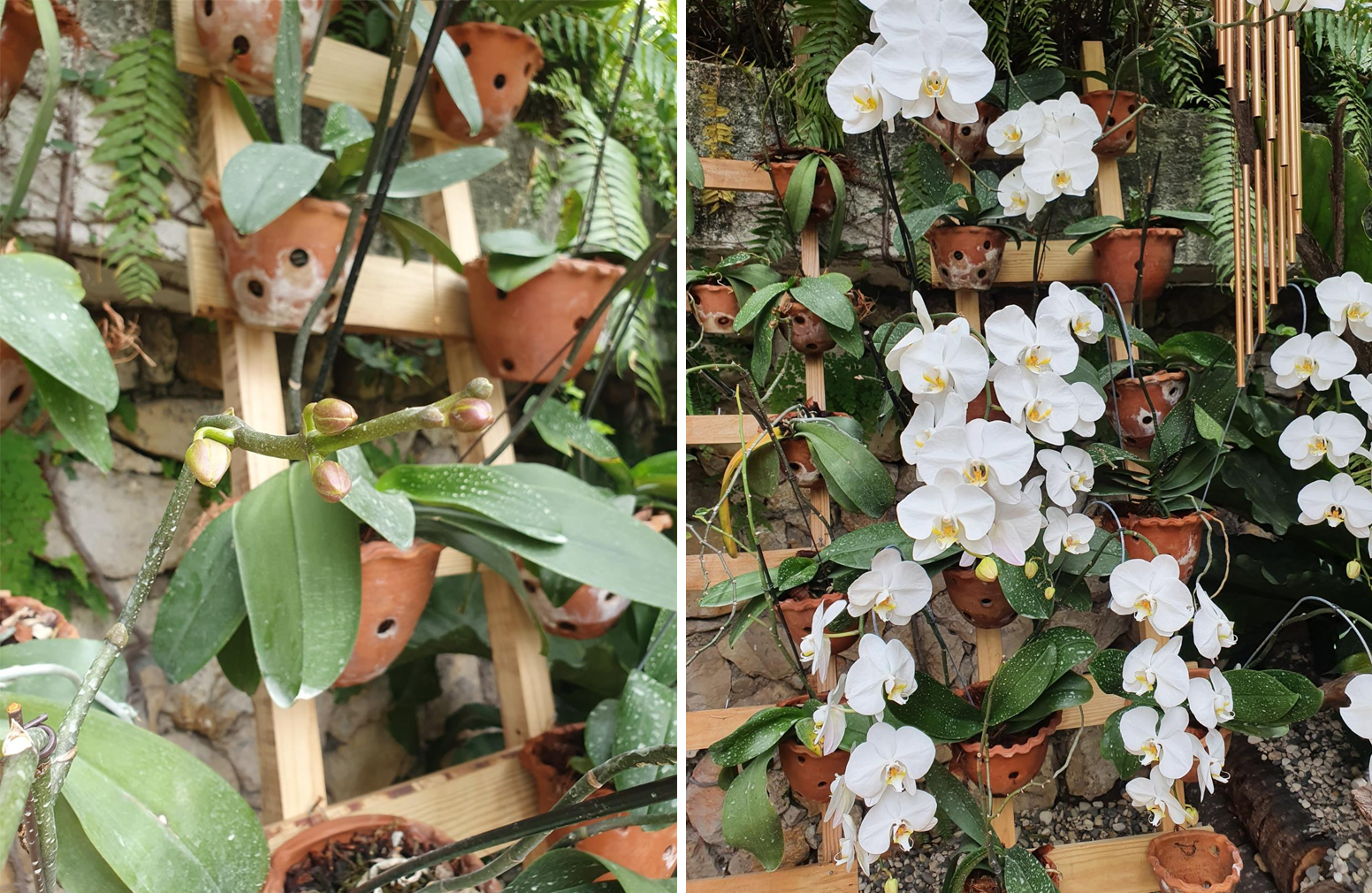 left: reviewer's orchid with many buds right: the buds have now bloomed into a shocking amount of flowers, i think over 20