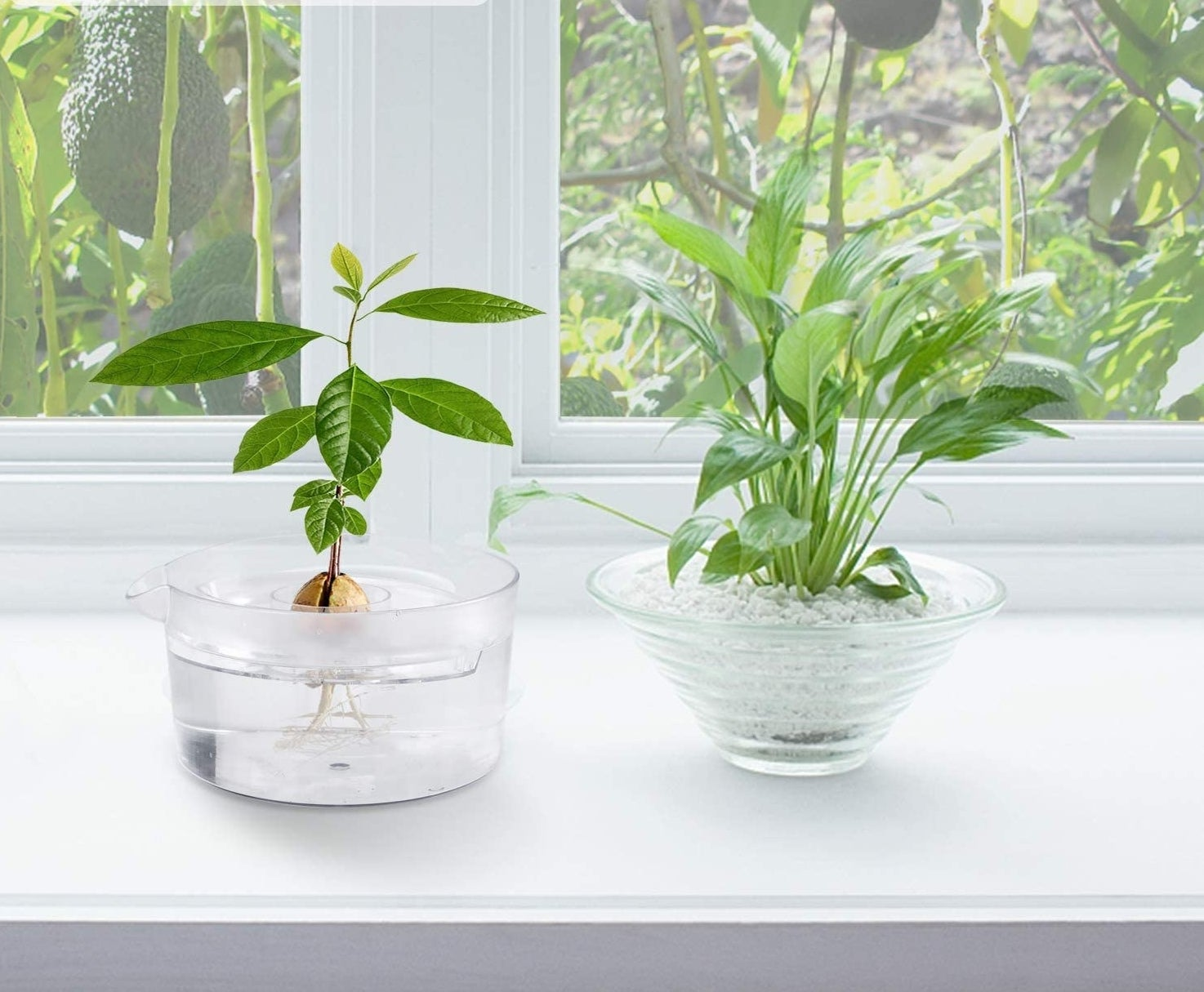 avocado tree growing kit sitting on a window sill next to a plant