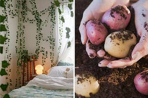 On the left, a bedroom with various fake vines hanging from the ceiling, and on the right, someone holding up dirt-covered potatoes from a garden