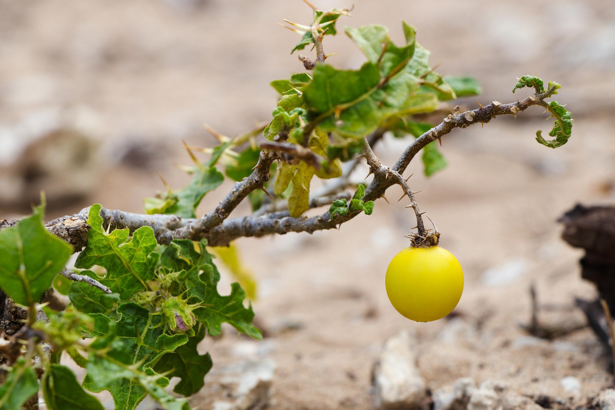 Solanum incanum, A.K.A a wild eggplant!