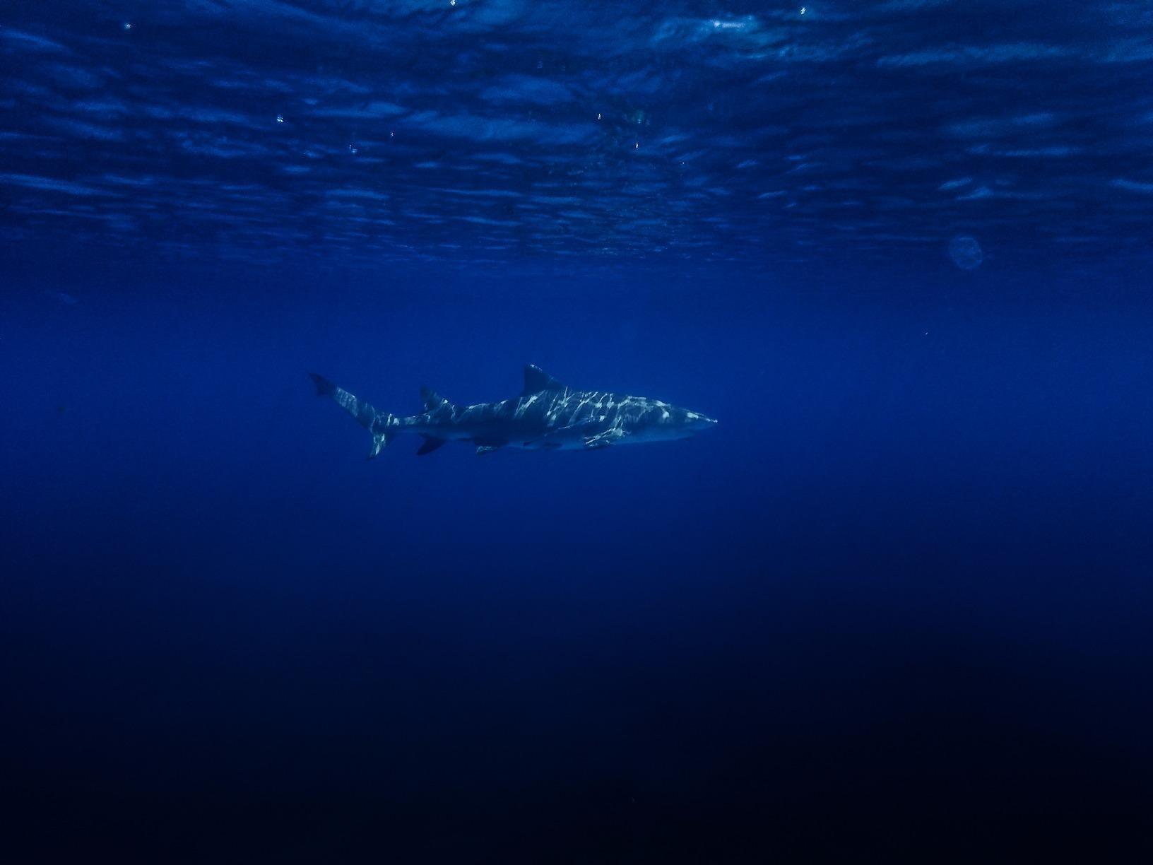 reviewer image of a shark taken underwater