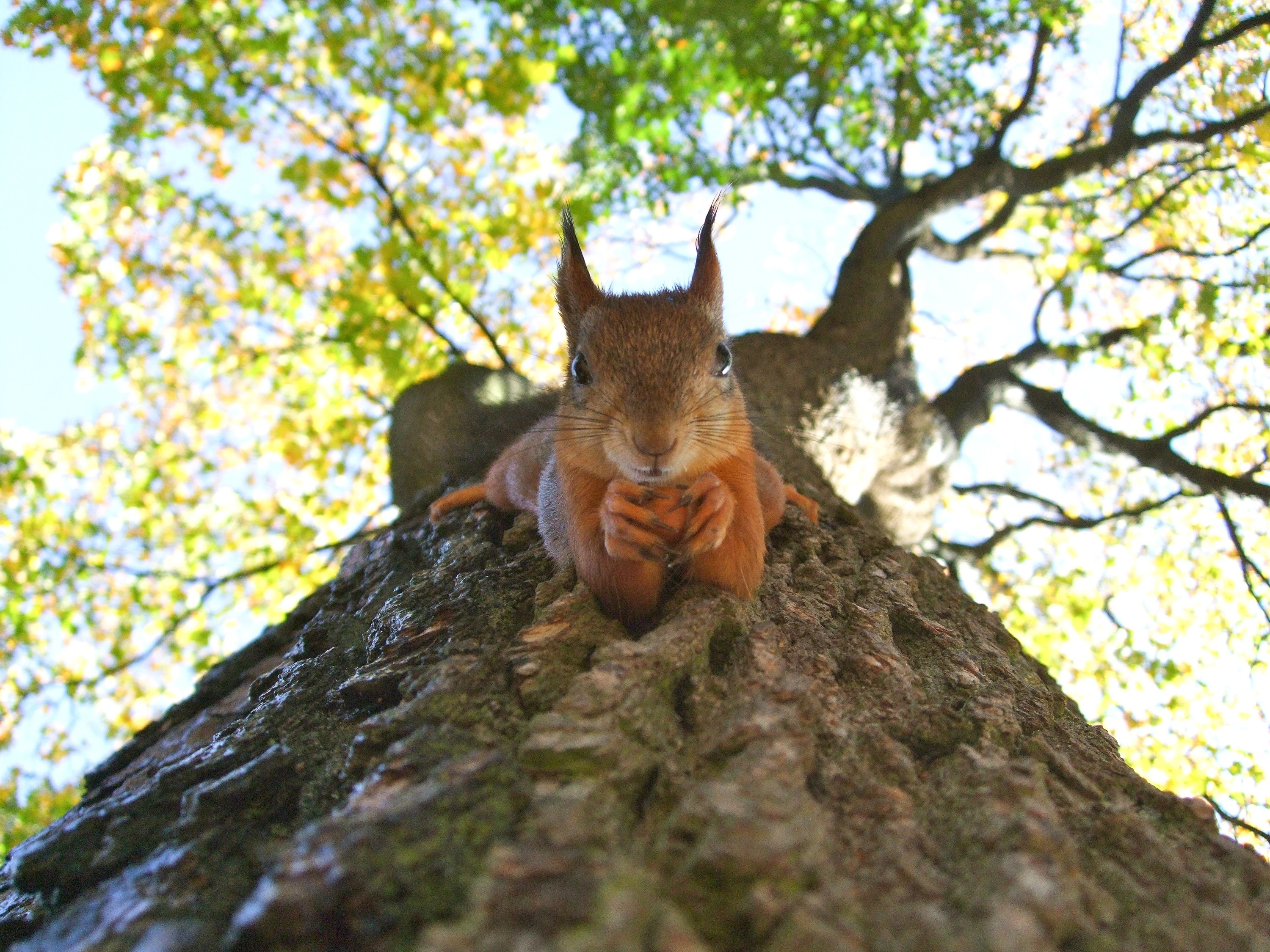 Taken from below, a squirrel is holding its hands together as it clings to a tree