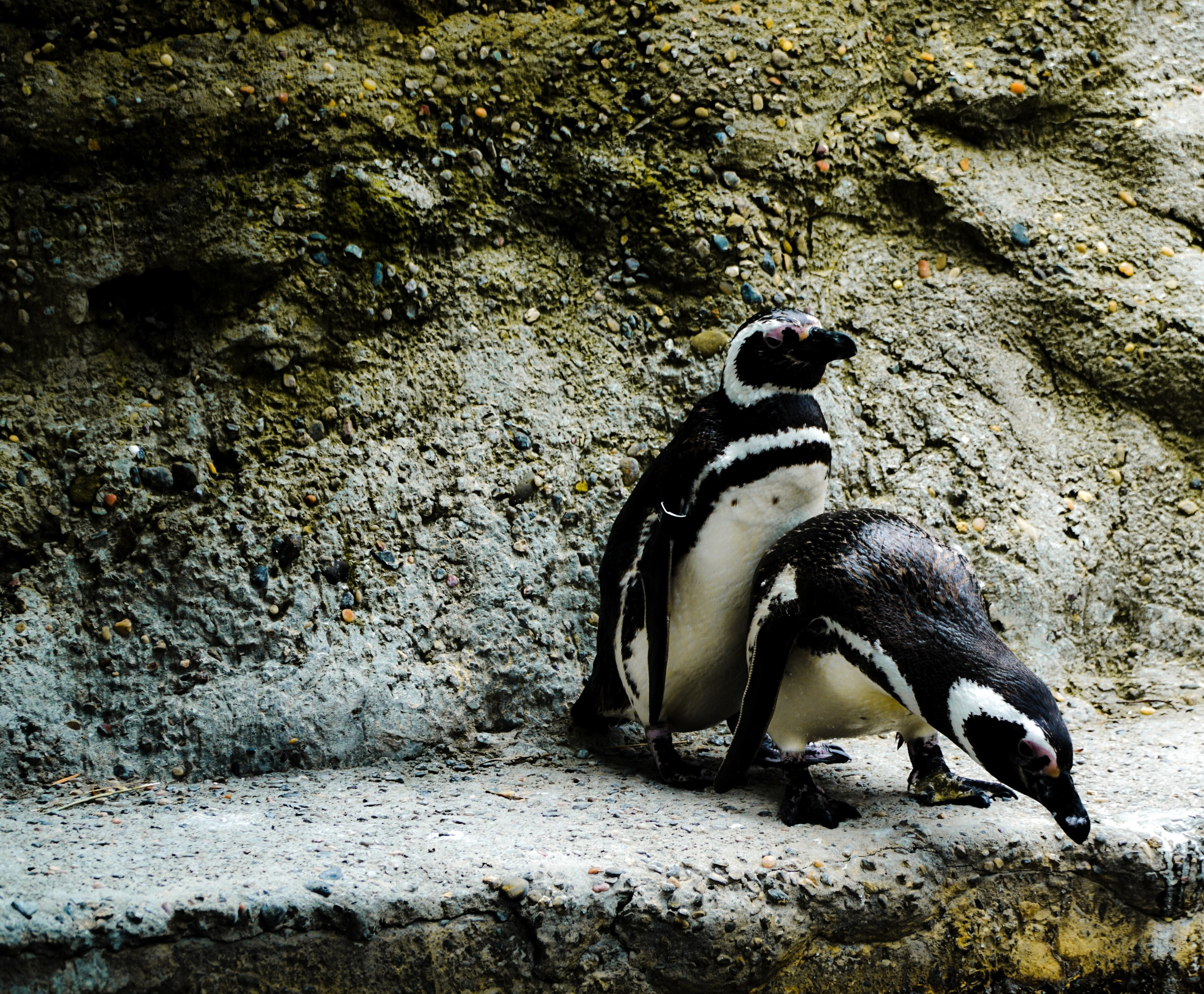 Two penguins are having sex against a rock.