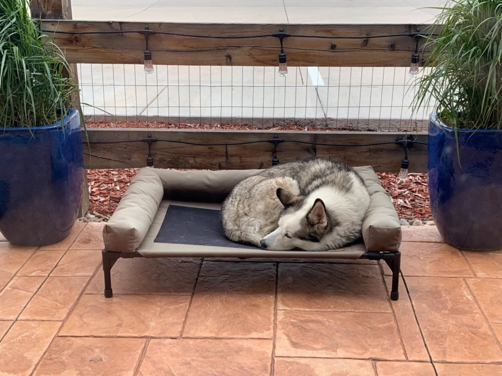 reviewer image of a husky sleeping on the K&H elevated dog bed