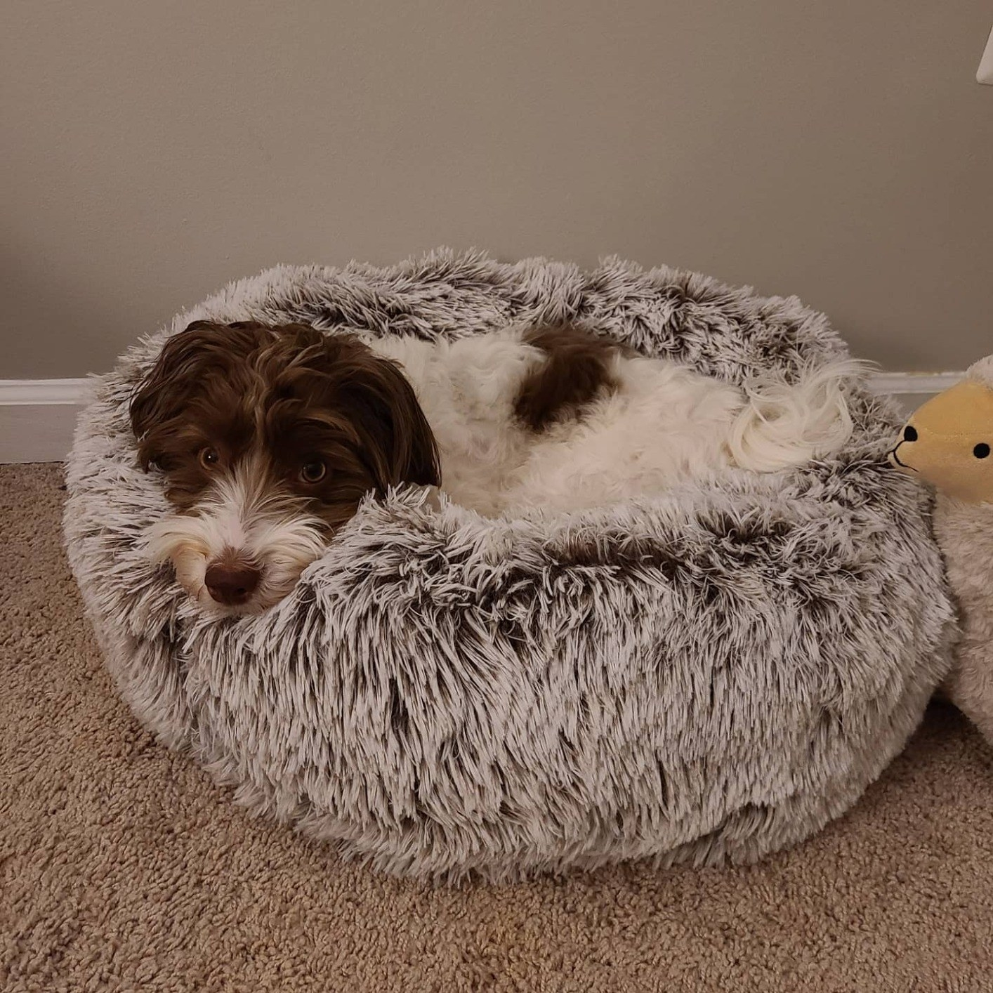 reviewer image of a medium sized dog lounging on the white khaki calming bed